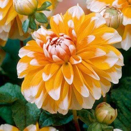 Schmuck-Dahlie Sugar Cane - Sommerblüher (Pflanzung im Frühjahr)