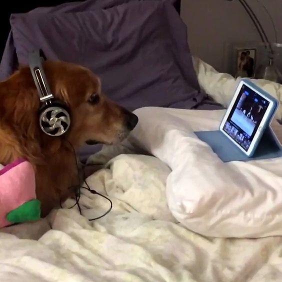 Son chien a peur des feux d'artifice, alors elle l'a mis devant des vidéos de chien avec un casque