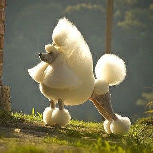 Tiêu chuẩn Poodle đẹp