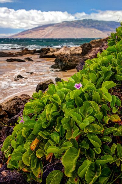 Greenery at the northern end of Kamaole Beach III in Kihei.