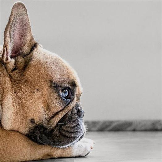 Baby British Bulldog Beautiful Nature Dog Bulldog Bulldog