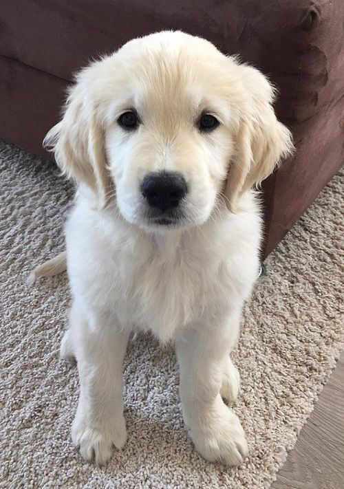 English Cream Retriever Baby Dogs Cute Dogs And Puppies Dogs
