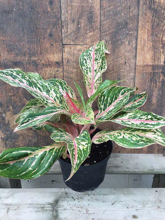 Aglaonema Sparkling Sarah 6 In 2020 Plants Sparkle Bloom