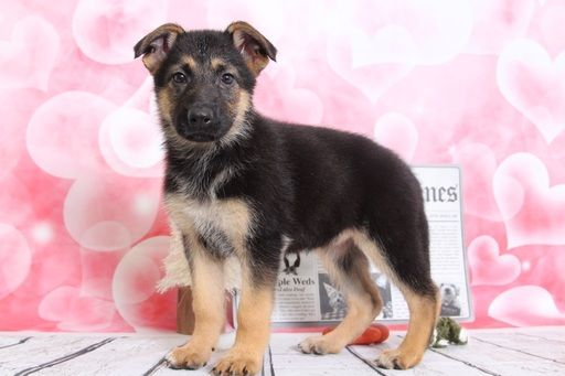 German Shepherd Dog Puppy For Sale In Bel Air Md Adn 65982 On