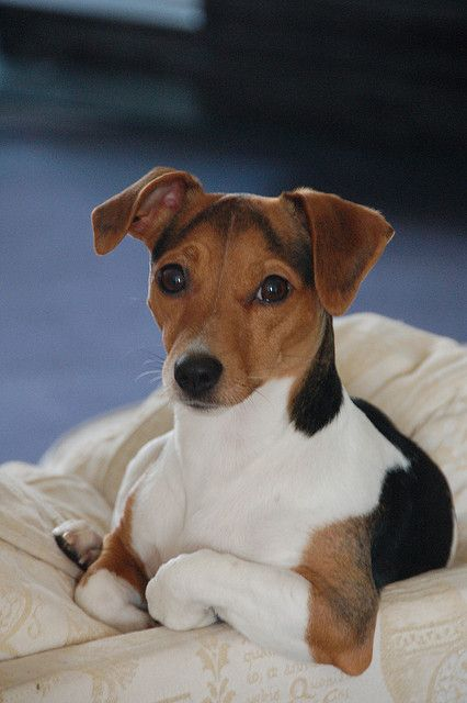 Jack Russell by eileenfrater, via Flickr.....this little guy is absolutely Beautiful.: