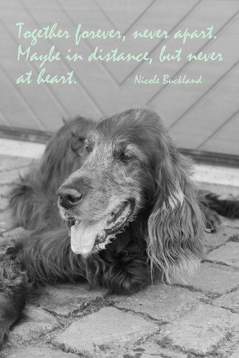 spruchbild mit york #trauer #tod #sprüche #hunde | dogs / hunde