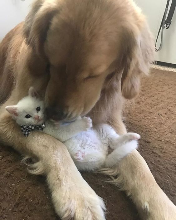 kitten with thumbs found love in giant dog