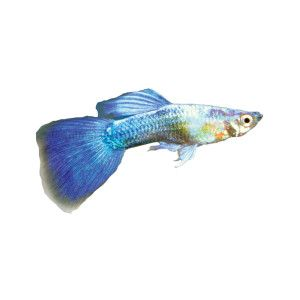 Other live fish and turquoise on pinterest for Petsmart fish guarantee