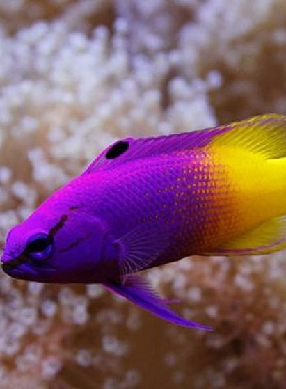 Fish fairies and royals on pinterest for Yellow tropical fish