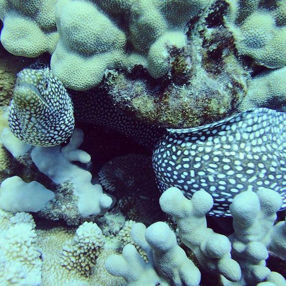 #scuba #Hawaii #spottedmorayeel #diving #honolulu http://ift.tt/1U3lbQj @hawaiiscubadiving