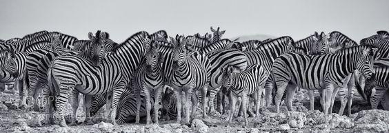 Zebras cluster at an Etosha waterhole by krcarver via http://ift.tt/29VAl7u