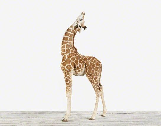 Baby giraffe The Animal Print Shop baby-stuff