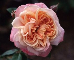 Lady of the Mist (English Legend). I sure wish our Wisconsin winters were nicer to English roses.