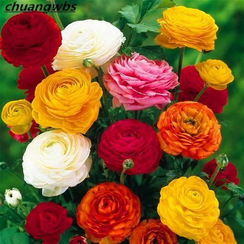 100 True Ranunculus Double Buttercup Mix 50 Seeds Ranunculus Flower Seeds For Home Garden Indoor Bonsai Pla Bulb Flowers Rose Like Flowers Persian Buttercup