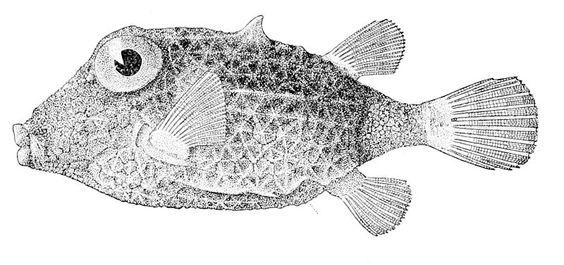 Kentrocapros aculeatus