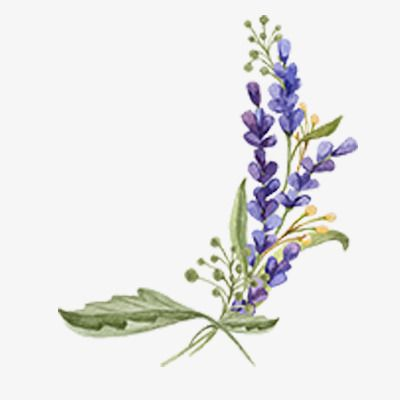 Lavender Vector Diagram Buckle Free Lavender Plant Hand Painted Png Transparent Clipart Image And Psd File For Free Download Flower Art Painting Floral Watercolor Floral Drawing