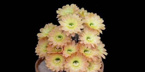 La hipnótica belleza de la apertura de las flores (VÍDEO) https://t.co/CICpGXYtrT #ES