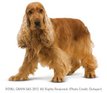 Cocker Spaniel Dog For Sale In Hyderabad