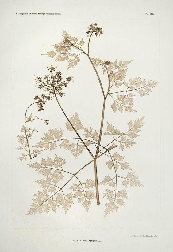 Aethusa Cynapium_fool's parsley