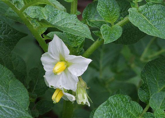 come piantare le patate nell'orto - ita