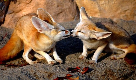 Fennec Foxes | 15 Adorable Snapshots of Animals Getting Amorous http://www.freedating.co.uk/blog/15-adorable-snapshots-of-animals-getting-amorous.html