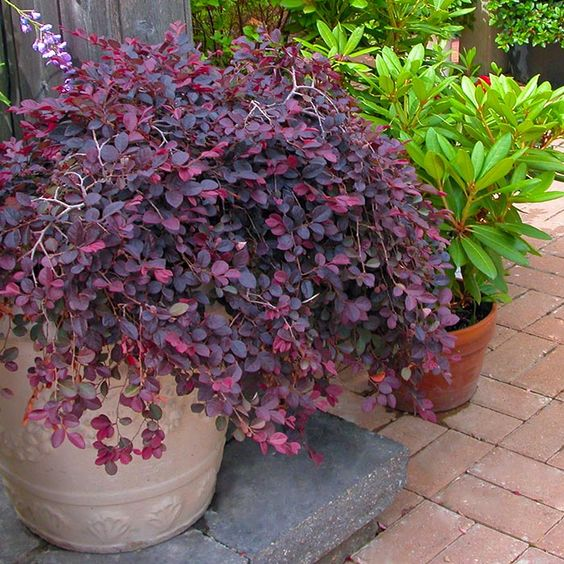 Image result for barberry bush in pot