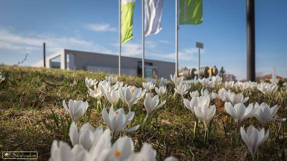 Kleine Krokuswiese am Campus der Hochschule Zittau/Görlitz | Zittau | Theodor-Körner-Allee