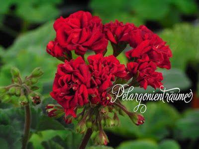 Pelargonienträume - Benedikt - sehr dunkle, blutrote Rosenblüten