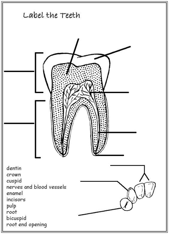 parts of a tooth worksheet homeschool helper online 39 s free label the teeth worksheet worksheet. Black Bedroom Furniture Sets. Home Design Ideas