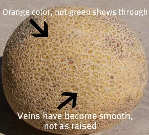 how to tell when a cantaloupe is ready to eat