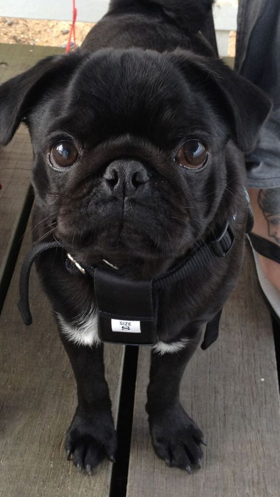 Ollie Pug French Bulldog Pugs Animals