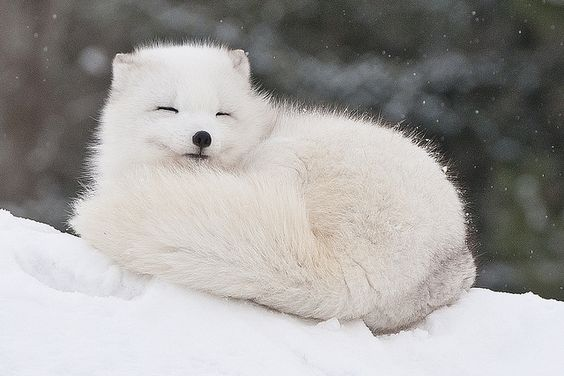 Another photo of an Artic fox. The animal is pictured in a very cute way, which I think is very inspiring.