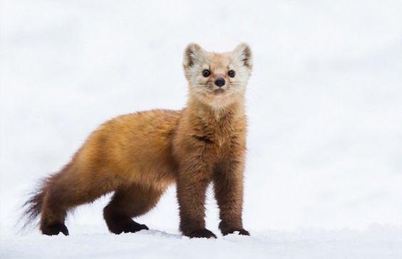 Curiously Cute Pine Martens par le photographe animalier Daniel Cadieux
