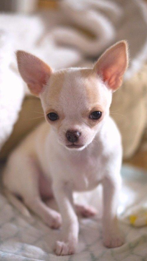 Chihuahua Cute Puppies Cute Animals Cute Chihuahua