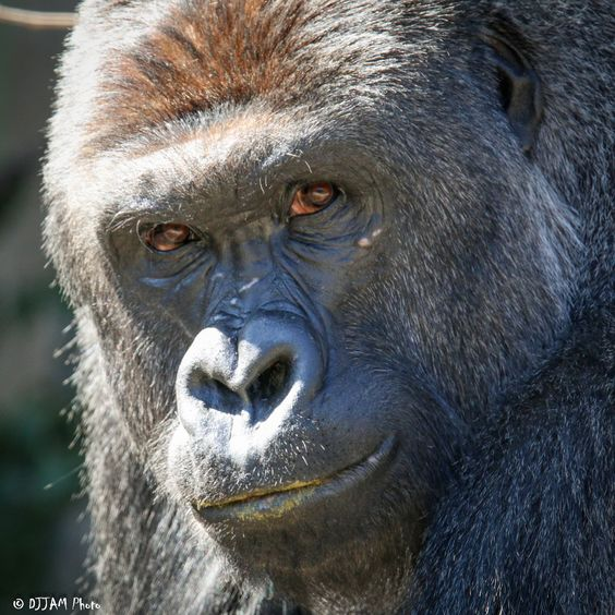 https://flic.kr/p/Dv6EpQ | Cincinnati Zoo 2-23-16-3139 | Silverback Gorilla Harambe