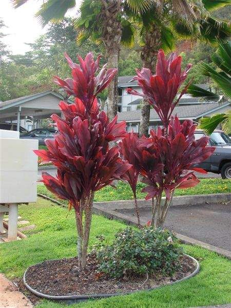 Hawaiian plants by name and picture common name for Landscaping ideas with plant names