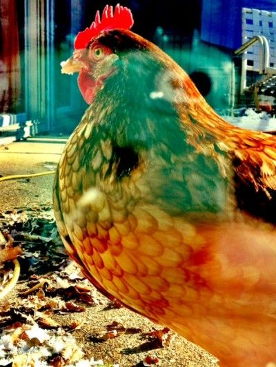 Backyard Chickens In Winter : Backyard chickens, In the winter and The winter on Pinterest