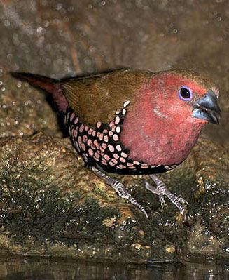 Pink Throated Twinspot (estrildid finch) SE African coast