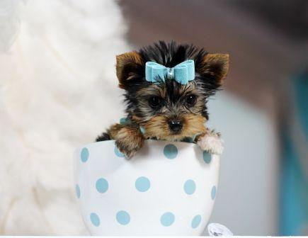 Teacup Yorkies For Sale Teacup Yorkie Dogs Florida Filhotes Minusculos Filhotes Fofinhos Caes Fofos