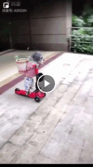 Cachorro andando de patinete,sofre colisão,kkkk.