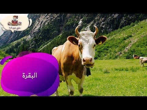معلومات عن البقرة للأطفال بدون موسيقى من راويتي تروي قصة Youtube Cow Animals