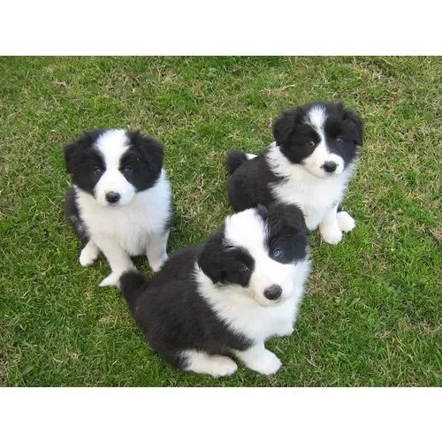 Fantastic Photographs Border Collies Baby Style Collie Puppies Border Collie Puppies Collie Puppies For Sale