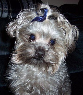 Yorkie Poodle Mix big blue eyes Puppies! Pinterest
