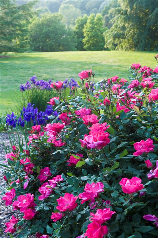 Pink Knock Out Roses with blue companion plants: