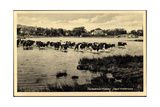Ostseebad Kloster Insel Hiddensee  Kühe Überqueren Wasser