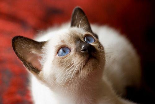 kitten blue eyes // Gatos e outros bichos