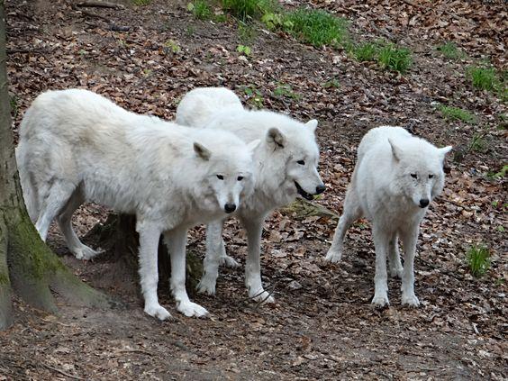 Weiße Wölfe im Wolfspark Werner Freund in Merzig