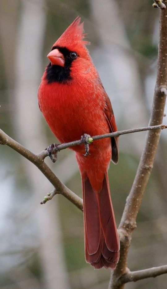 Cardenal Norteno Northern Cardinal Rotkardinal Cardinale