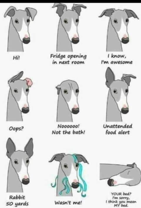 So Accurate 3 Greyhound Puppy Grey Hound Dog Whippet