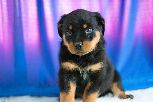 Rottweiler Puppy For Sale In Kent Oh Adn 63278 On Puppyfinder Com Gender Male Age 8 Weeks Rottweiler Puppies For Sale Rottweiler Puppies Puppies For Sale